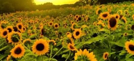 Just a Few More Days Left to Catch the Blooms at Hill Ridge Farms' Sunflower Days