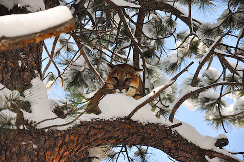 cougar pc Colorado Parks and Wildlife