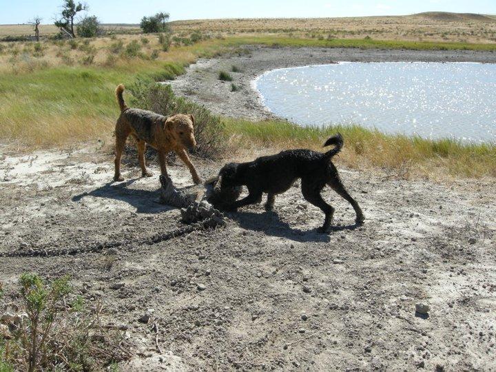 Coyote Trap Image 2 pc Jamie Olson_Wildlife Services