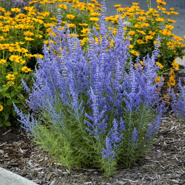 Photo Essay Extremely Drought Tolerant Perennials Perennial Resource