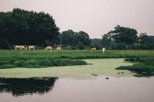 wilde-koeien