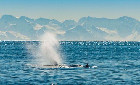 MMT_Sperm-Whale-1