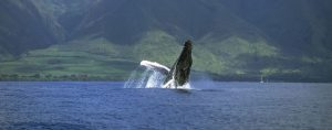 Humpback Migration to Hawaiian Breeding Grounds