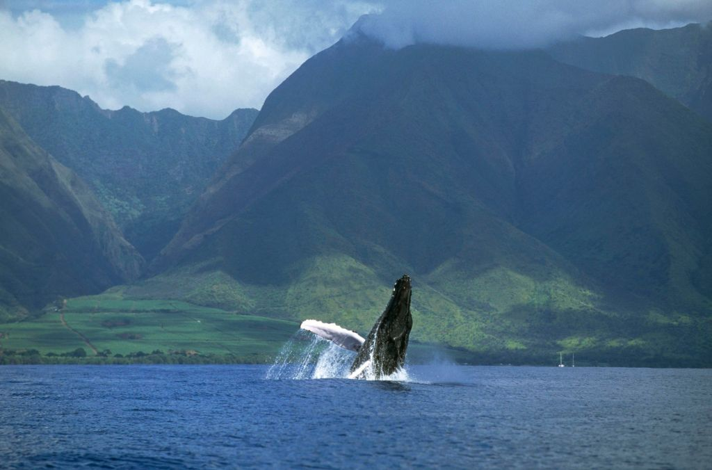 Humpback Whale (Megaptera novaeangliae) breaching, Maui, Hawaii - Notice must accompany publication: Photo obtained under NMFS permit