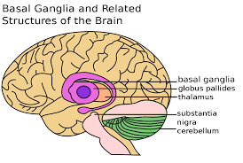なぜ大脳基底核損傷で半側空間無視が起こってしまうのか?
