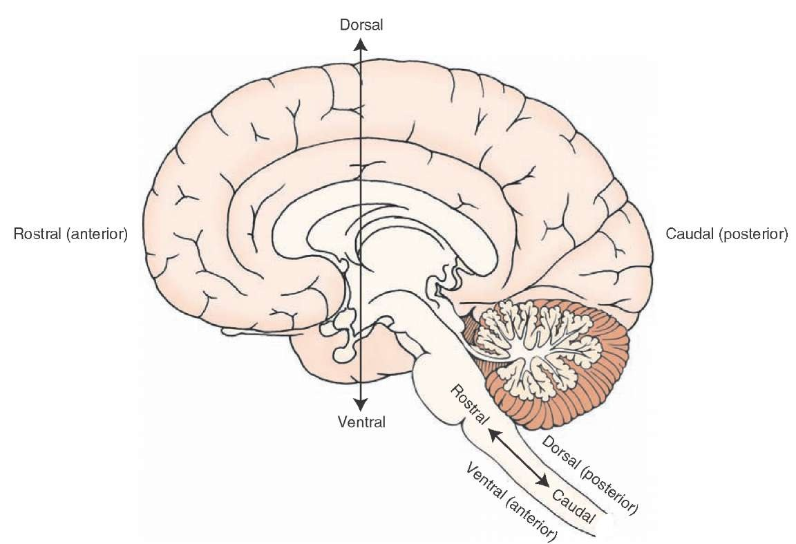 Overview Of The Central Nervous System Gross Anatomy Of