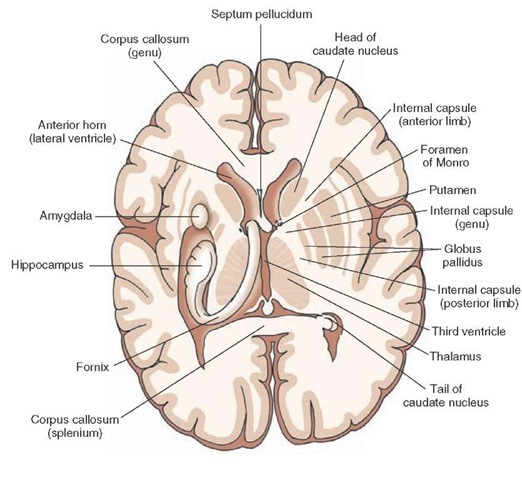 Image result for horizontal cross section of brain