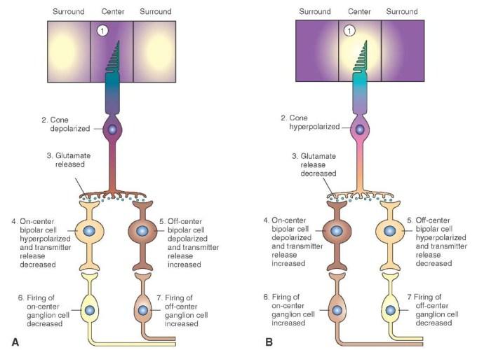 visual system (sensory system) part 2
