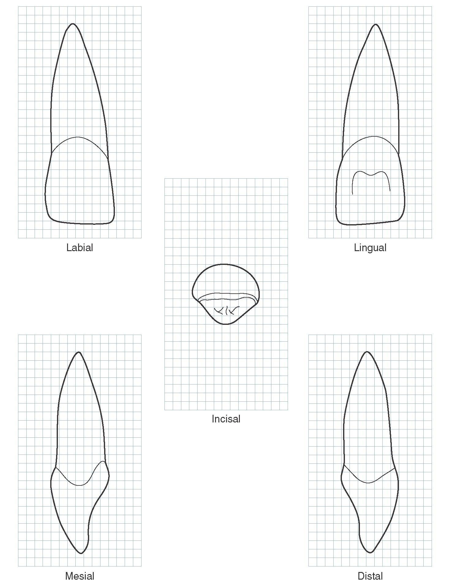 The Permanent Maxillary Incisors Dental Anatomy