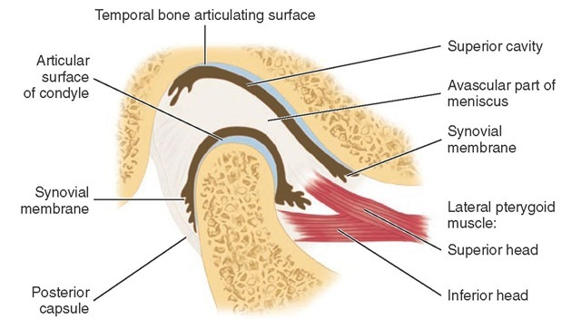 Anatomy Fun Fact Corner – TMJ Edition – Conservative Orthopedics