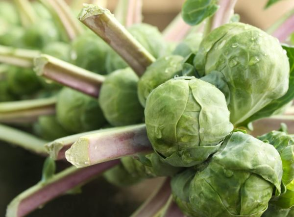 Brussels Sprouts, on the stalk