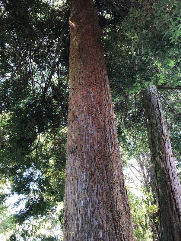 Redwoods trees surround Mendocino county.