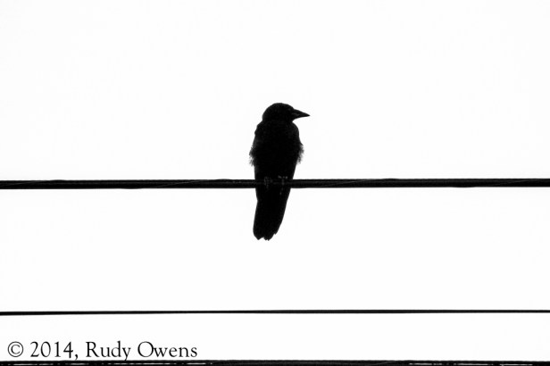 This bird on the wire was shot right outside my study window, using my consumer-grade Canon, and I liked the results (2014).