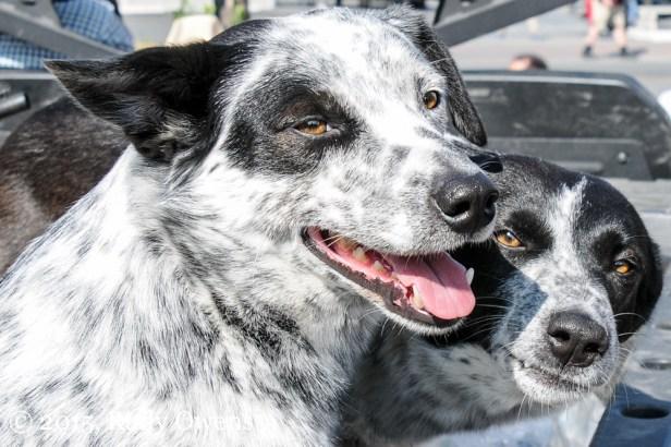 Mix breed collie healer photo