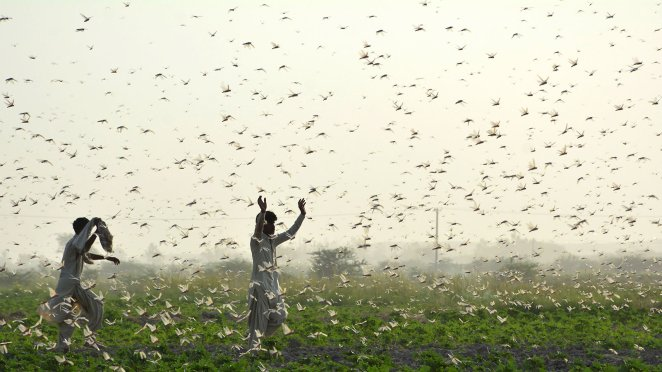 whats that smell scientists discover what makes locusts swarm - What's that smell? Scientists discover what makes locusts swarm.