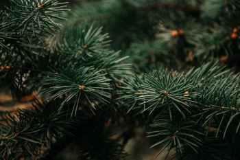 photograph of green pine tree