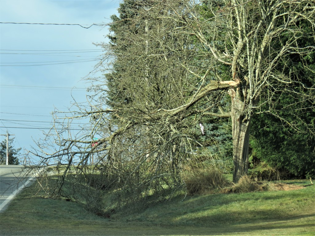 A damaged tree on Thornton Street after a windstorm with 70mph gusts (February 10, 2019). Photo: My Ferndale News