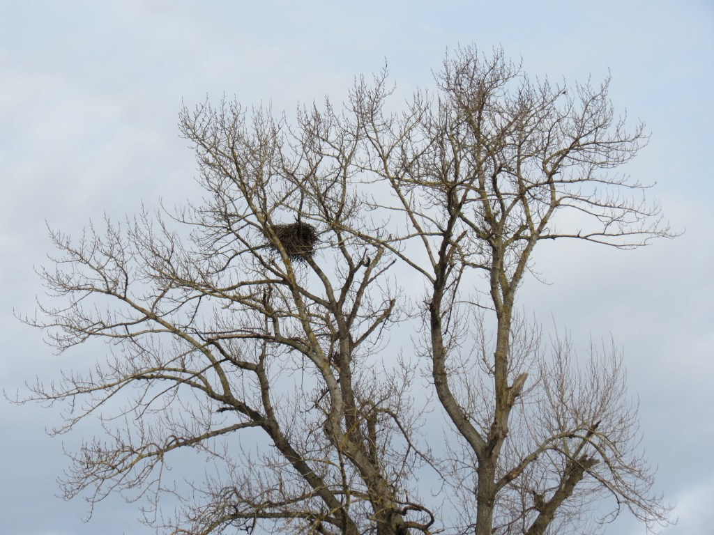 Bald eagles' nest in a tree on W Axton Road (February 10, 2019). Photo: My Ferndale News