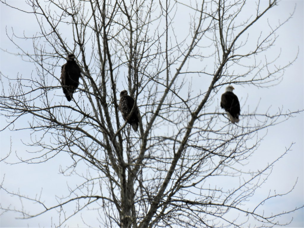Adult bald eagle with 2 juveniles in a tree on W Axton Road (February 10, 2019). Photo: My Ferndale News