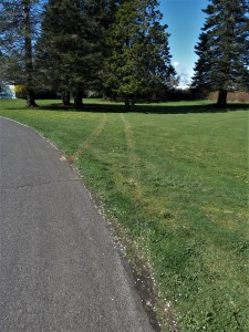 Tire tracks indicate the path of the car after leaving the road at scene of car vs tree crash on Belfern Drive (April 12, 2019). Photo: My Ferndale News