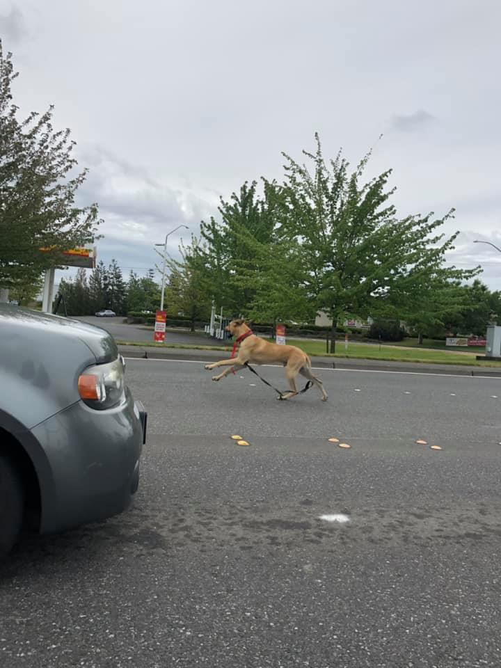 Capone, a Great Dane, can be seen romping down Main Street after escaping a Ferndale veterinarian's office (May 17, 2019). Photo courtesy of Gabryelle Marin