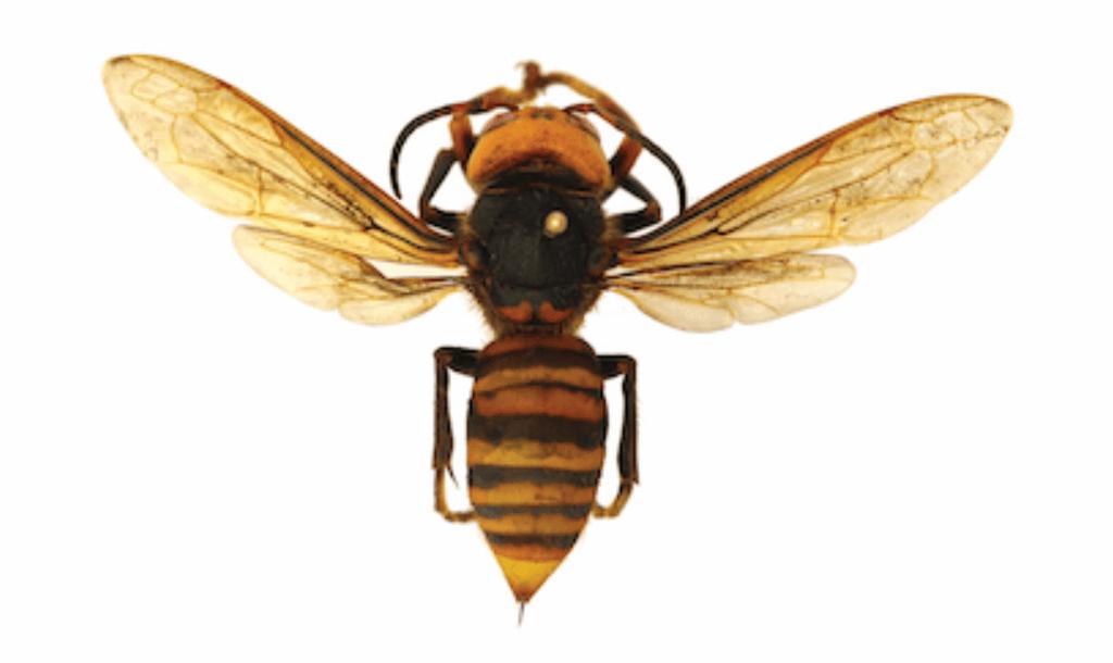 Asian giant hornet (Source: WSDA)