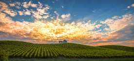 Vineyard with rows of grape vine in sunrise, sunset with old building, villa on top of the vine yard, traditional authentic European winery