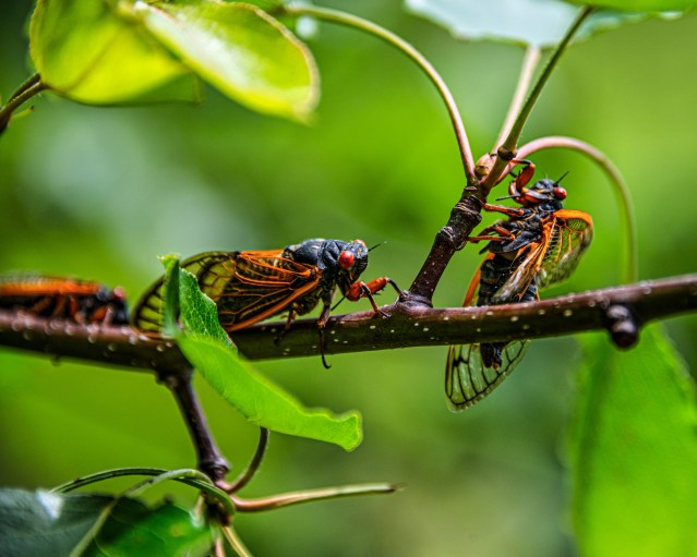 Cicadas on our pear tree