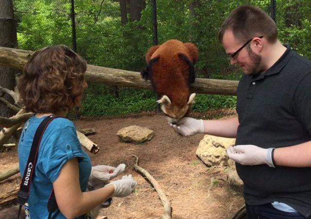 red panda encounter at The Good Zoo at Oglebay Resort