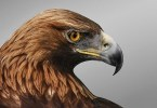 Golden Eagle - National Bird of Afghanistan