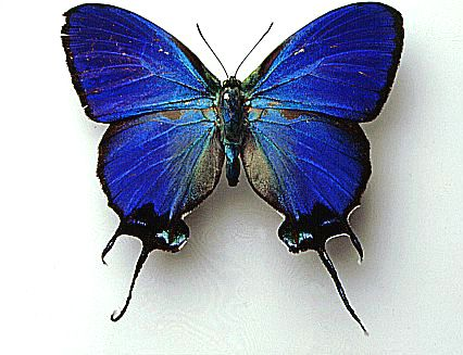 State Insect of Colorado
