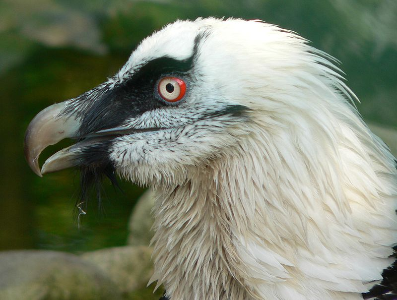 The Adult bearded Vulture
