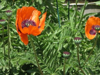 monhegan-2016-orange-poppies-2