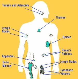 Diagram  Immune System