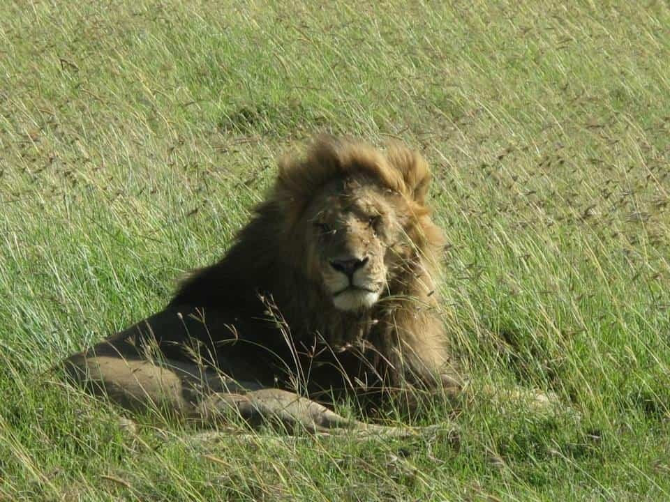 A lion in Kenya by Binny's Food and Travel Diaries