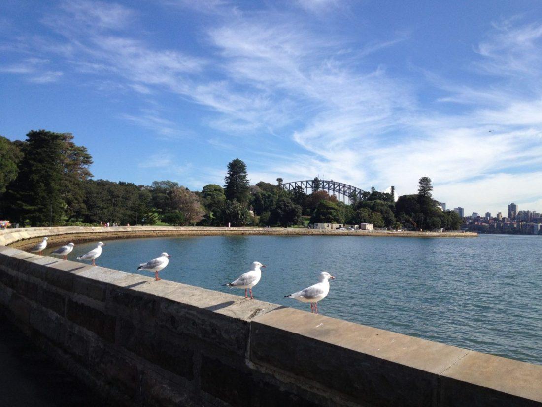 Seagulls near Sydney Harbour Bridge