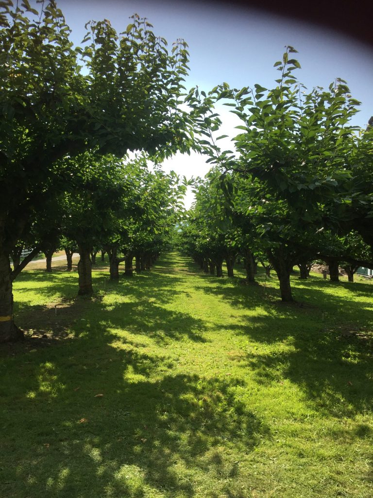 Cherry orchard in the Okanagan Valley