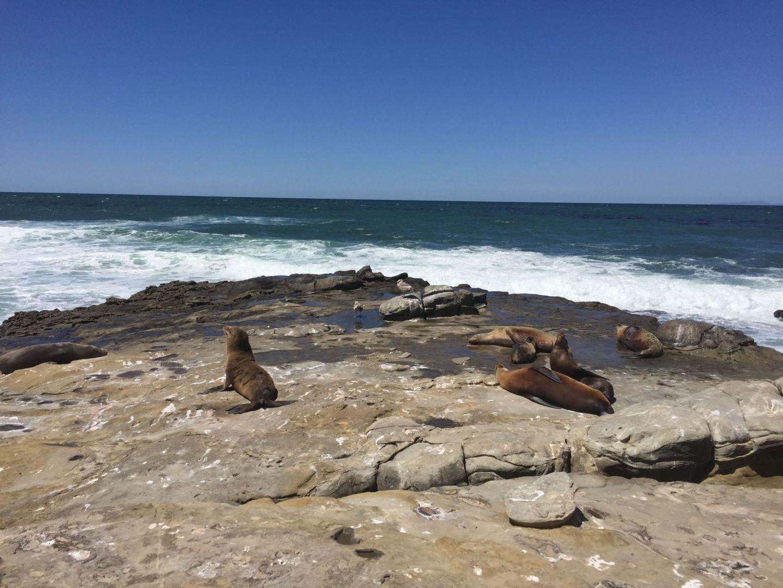 Seals at La Jolla, San Diego