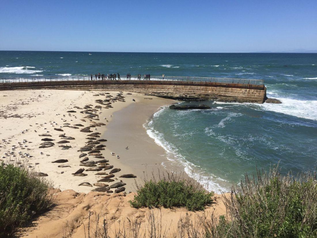 Seals at La Jolla Cove, California