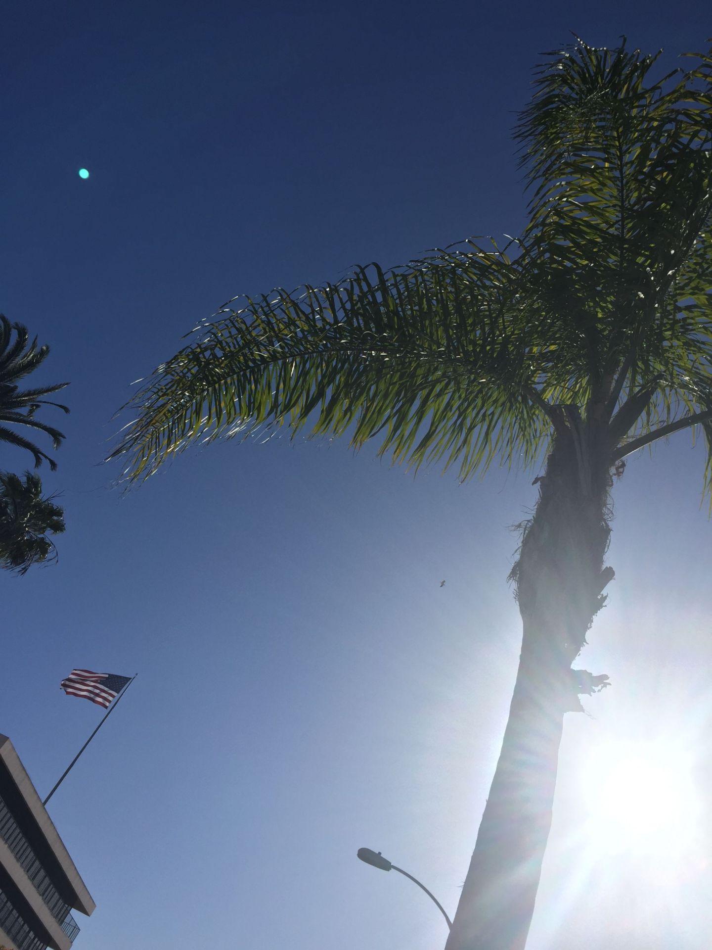 Palm trees in La Jolla