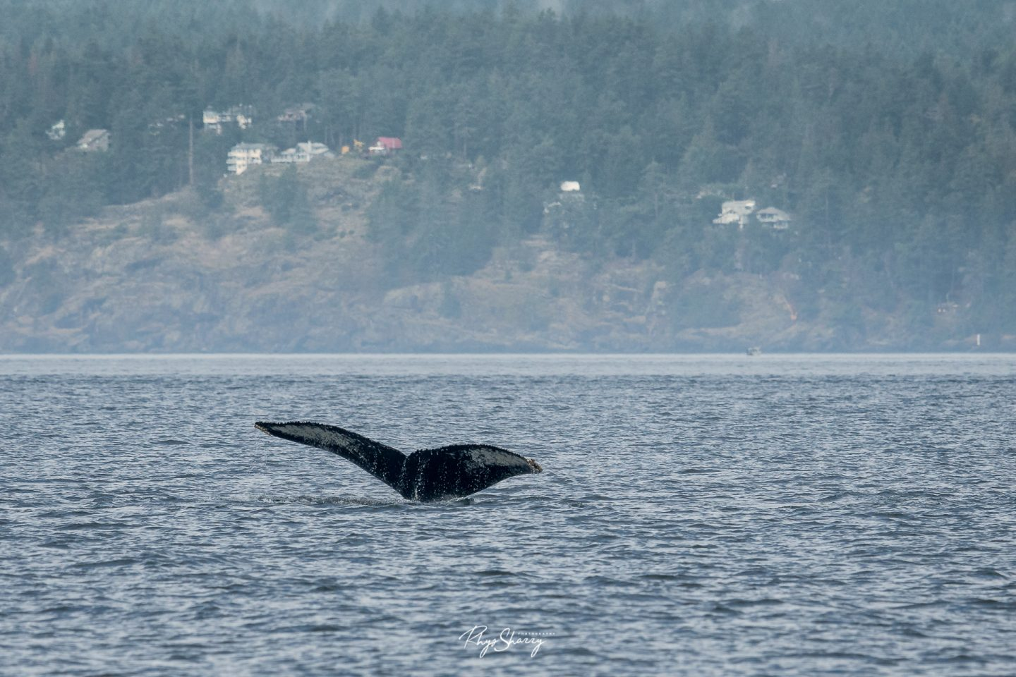 The tail of a humpback whale near Vancouver, BC