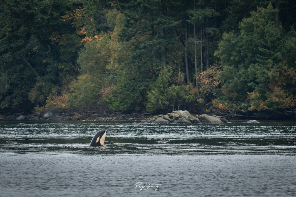 An orca off the coast of BC