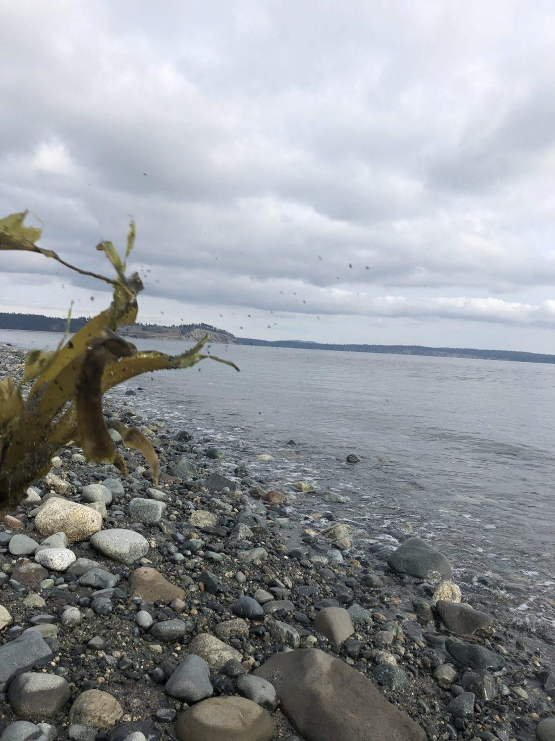 Seaweed on Island View Beach, Vancouver Island