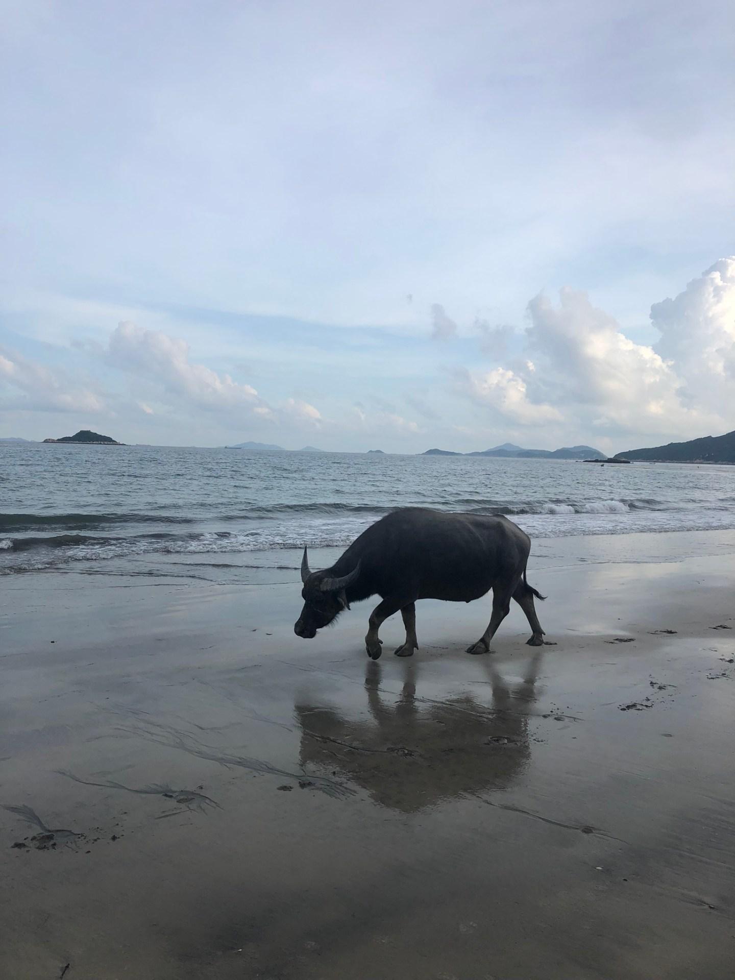 A cow on Cheung Sha Beach, Lantau Island
