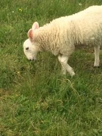 Bunny eared sheep