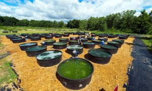 Naukowcy chcą, aby glony stanowiły paliwo przyszłości