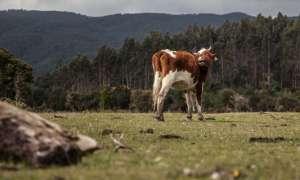 Różowe wodorosty powstrzymają krowy od wytwarzania metanu