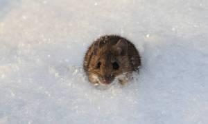 Technika separacji plemników pozwala na wybieranie płci potomka myszy