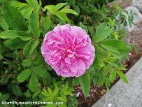 1pink flower