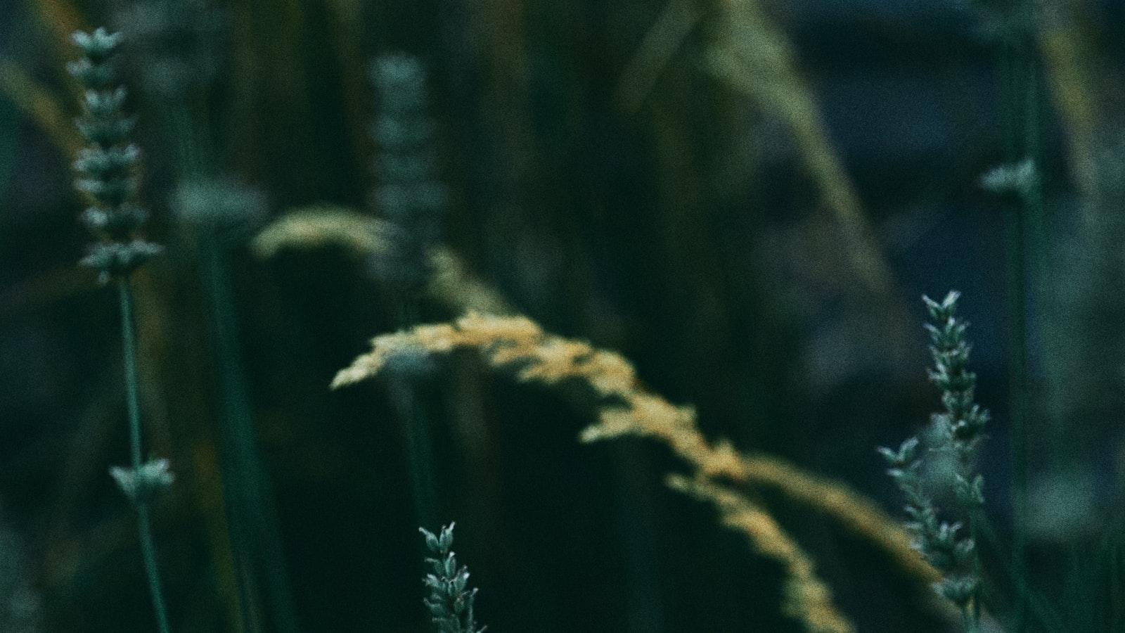 DENSE SHADE GRASS SEED